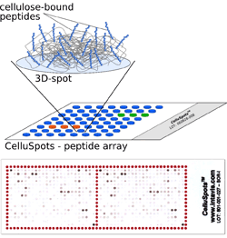 INTAVIS PEPTIDES CelluSpots - Custom Peptide Arrays From Membranes to Mini- and Micro-Arrays